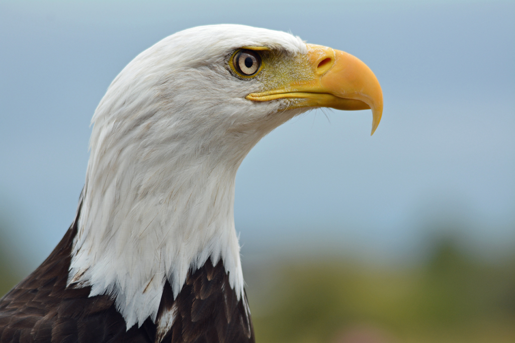 Head of a Bald Eagle - This one was in a rescue facility.