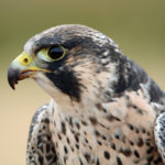 Peregrine Hawk. Photo by Colin MacGregor Stevens.