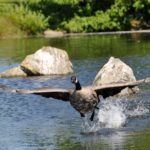 Canada Goose taking off, Vancouver, B.C. Canada. Photo by Colin MacGregor Stevens.