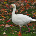 Snow Goose walking in Richmond, B.C. Photo by Colin MacGregor Stevens