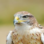 Ferruginous Hawk Vancouver, B.C. Photo by Colin MacGregor Stevens.