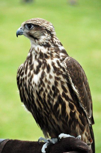 Hunting bird (falcon?) at the Highland Games Victoria 2012 May